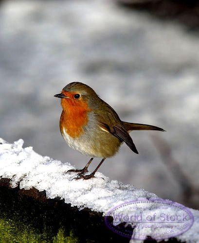 Roodborstje, s,winters in mijn tuin te zien, eten van het zaad dat er voor ze hangt