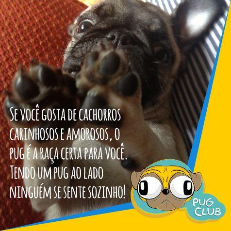 Se você gosta de cachorros carinhosos e amorosos, o pug é a raça certa para você. Tendo um pug ao lado ninguém se sente sozinho!  #pugclub #puglife #pug #puglove #clubpug #pugclubinternacional #pugs #pugsrequest #pugstuff #pugsrock #pugsofinstagran #pugsloversclub #pugsforinstagram #pugstgram #pugsnotdrugs #pugstar #pugsofinsta #pugswag #pugstagram #pugsmile #pugshot #pugslover #pugselfie #pugsessed #pugso…