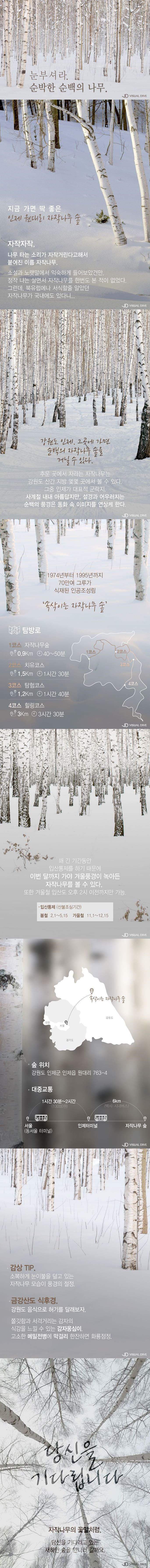 눈부셔라. 순박한 순백의 자작나무 숲 [카드뉴스] #Betula / #cardnews ⓒ 비주얼다이브 무단 복사·전재·재배포 금지
