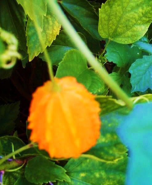 El cundiamor  es una enredadera que crece silvestre en las campos de Puerto Rico. Sus hojas son de forma parecida al de la vid. Su fruta es...