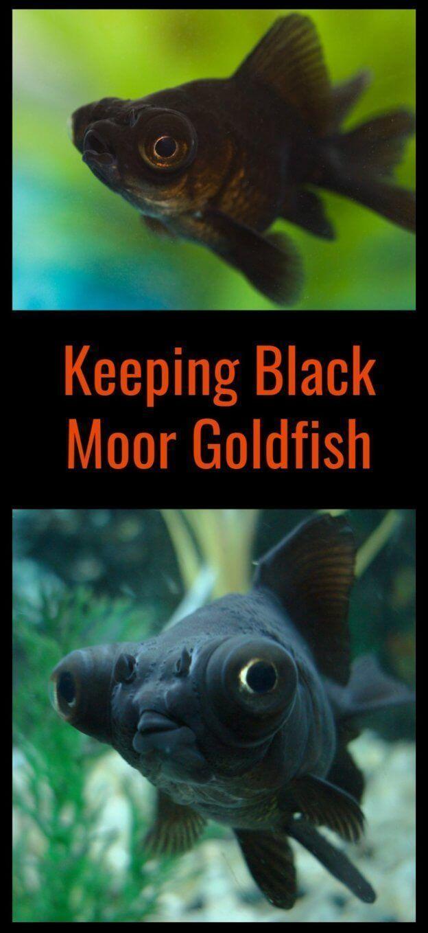 Black Moors Are Fantastic Little Fish To Keep But There Are Some Simple Ground Rules You Need To Understand First Pet Goldfish Fresh Water Fish Tank Pet Fish