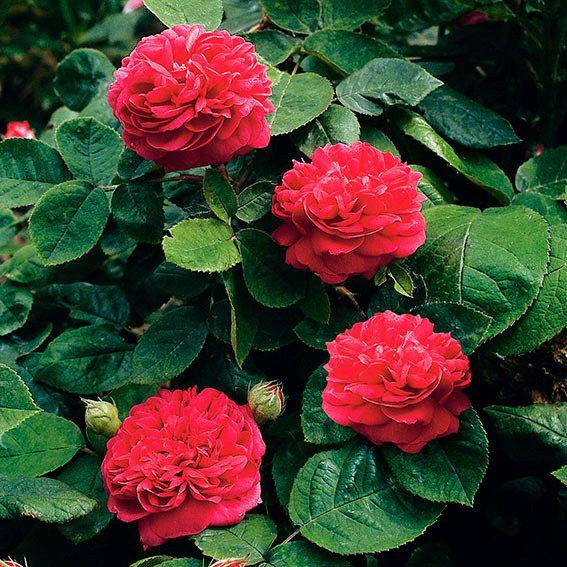Rose De Resht®, im 5,5-Liter-Topf