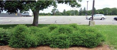 Comptonia peregrina  Sweet Fern - American Nurseryman