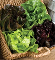 Selling Produce to Restaurants: Grow Mini-Head Lettuce