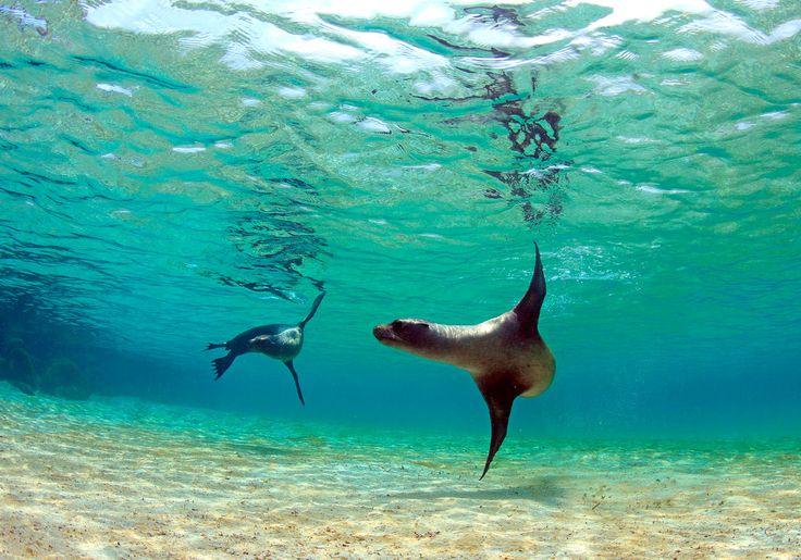 På Galapagos i Ecuador kan du snorkle med legesyge søløver.