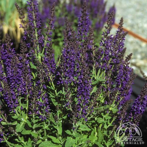how to cut back salvias