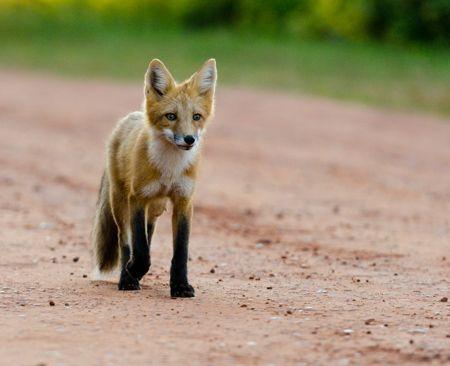 Trotting Fox by IIT