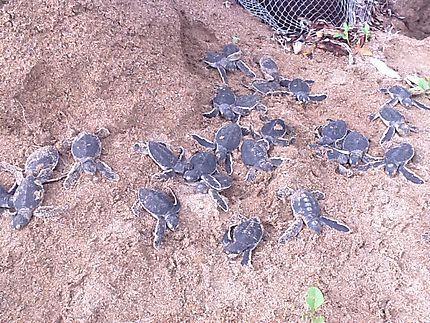 Bébé tortue de mer//Tortues nées sur la plage de BEFEFIKA au MANGA SOA LODGE où ils protègent la ponte et les naissances des tortues de mer.//Madagascar > Diégo-Suarez (Antsiranana) et sa région > Île de Nosy Be