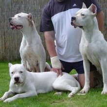 Dogo Argentino. Used to have one she was def