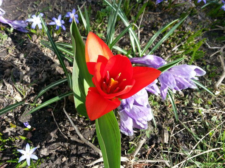 Samotny tulipan. :) #hydrobox #hydroboxpl #kwiaty #tulipany #tulips #wiosna #spring #inspirations #diy #ideas #inspiracje #watering #flowerpot