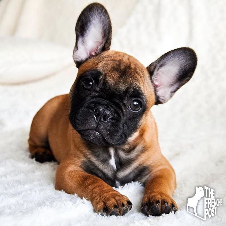 What a Beauty, French Bulldog Puppy❤️❤️