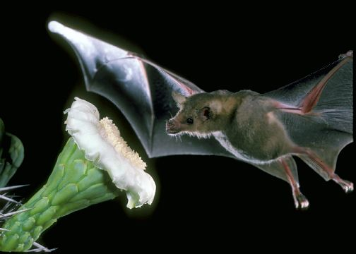 A lesser long-nosed bat pollinating a saguaro cactus. (Copyright photo by Merlin D. Tuttle, Bat Conservation International, www.batcon.org)
