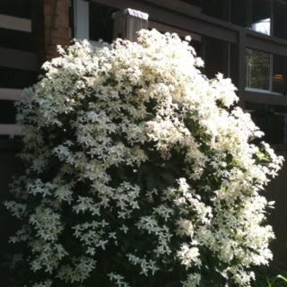 Late summer bloom clematis: Gardens Therapy, Gardens Ideas, Late Summer, Summer Bloomers Clematis, Wedding Cakes, Gardens Bit, Http Just4Guy Info Gardens, Bloom Clematis, Gardens Houseplant Wildflowers
