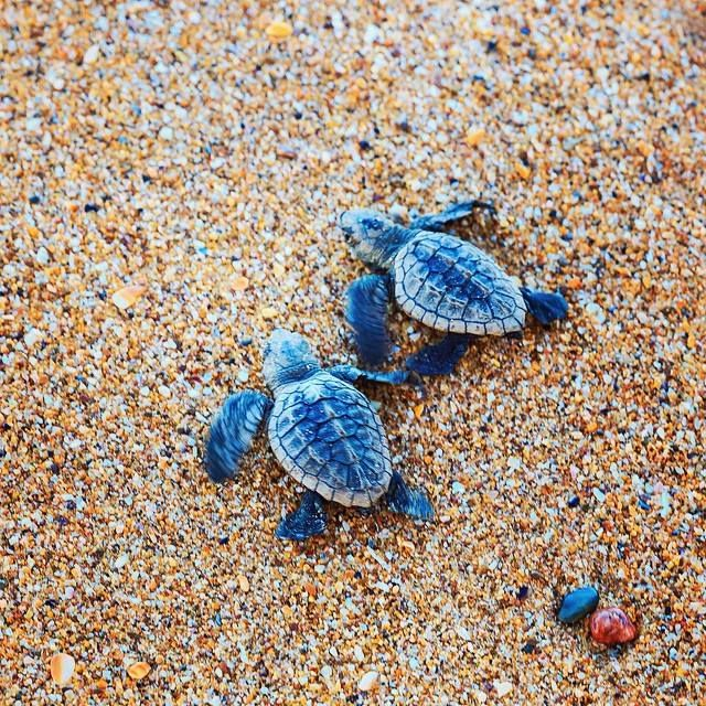 We love this time of year! Image by snapper.snapper via IG. #capehillsborough #turtles #cute