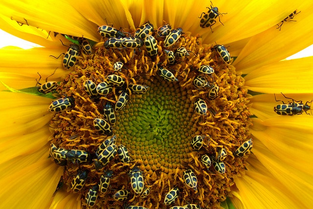 how to take sunflower seeds out of the flower