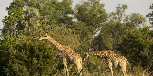 Giraffe in Afrika, Safari, Fototapete Merian, Fotograf: P. Koschel