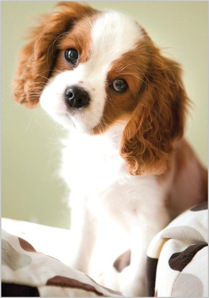 Card Ranges » 3534 » King Charles Puppy - Abacus Cards - Greetings Cards, Gift Wrap & Stationery