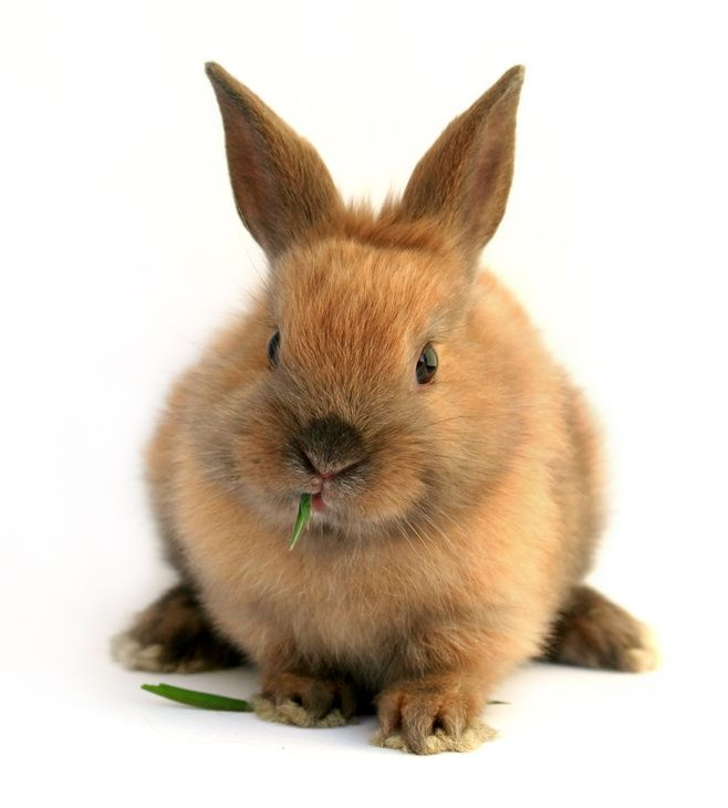 Rabbit Breeds. I'm leaning toward a netherland dwarf and a holland lop. D. wants mini lop.