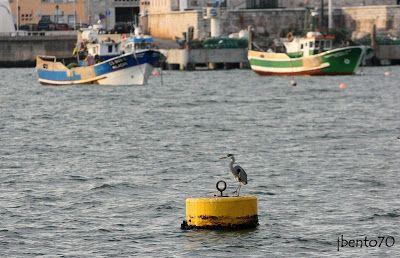 Birding Cascais: Garça-real-comum / Grey Heron (Ardea cinerea) na B...