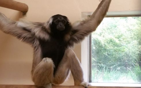 Arrivée des gibbons à bonnet à la Vallée des Singes !