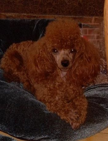 Rennie's Rose Red Poodles, High Quality Rose Red Toy Poodle Puppies