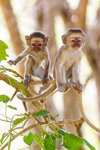 Baby Vervet #Monkeys                                           #animals #babyanimals