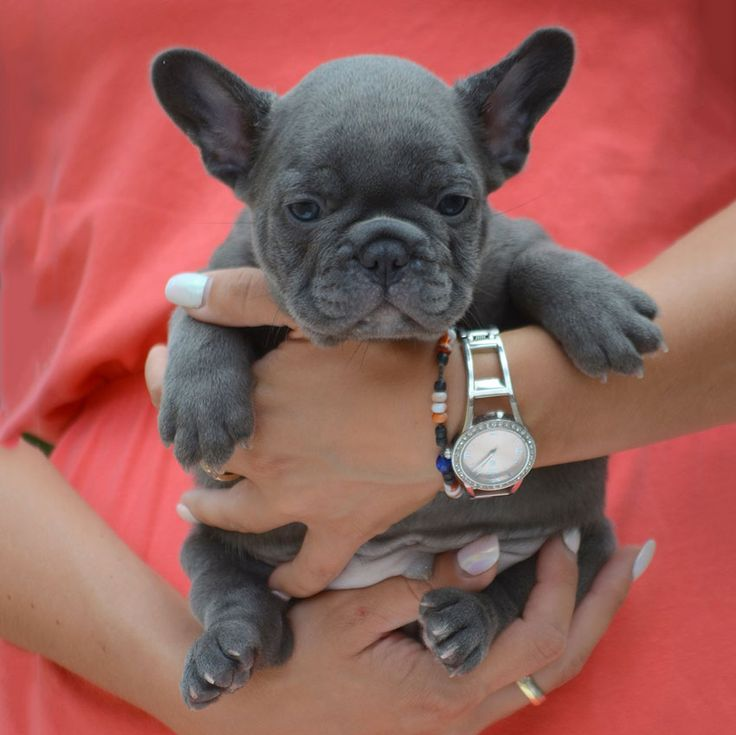 Tips to Choose French Bulldog Puppies