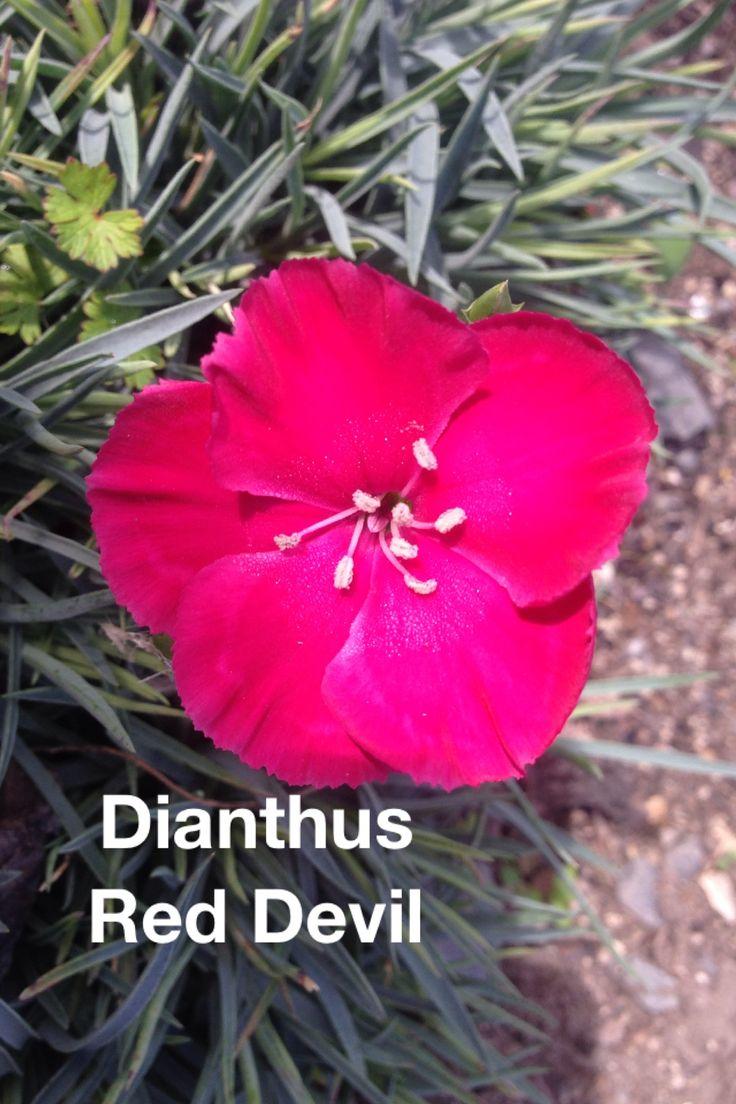 DIANTHUS red devil