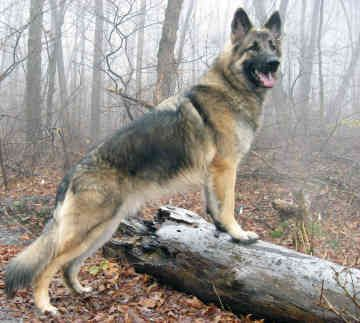 Male (German-?) Shepherd.. Not just one of the most intelligent breeds, but the most naturally  Protective... That's why they're most often used by the Armed Forces & Police all over the world.