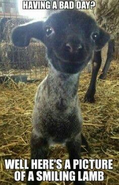 Smiling lamb