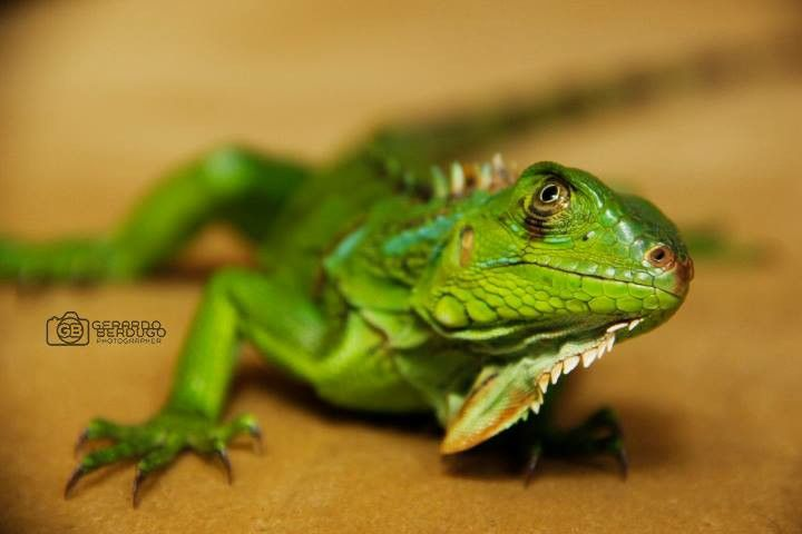 Iguana selfie