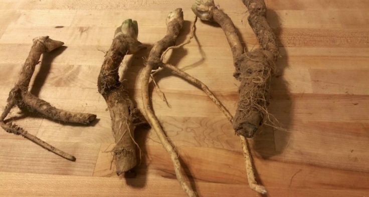 The Horseradish Plant: Harvesting, Processing & Uses