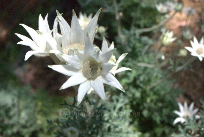 Try growing Actinotus helianthi, its too easy…