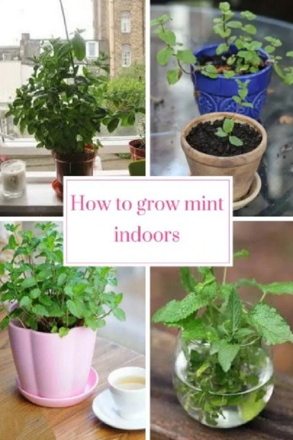 How To Grow Mint Indoors The Most Effective Growing Steps Growing Mint Growing Mint Indoors Growing Food Indoors
