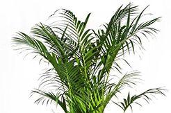 Kentia planten voor binnen