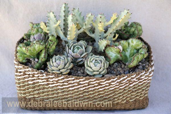 Les 25 Meilleures Id Es De La Cat Gorie Euphorbia Lactea Sur Pinterest Euphorbe Cactus