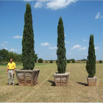 italian cypress trees have been one of my favorite for as long as i can remember