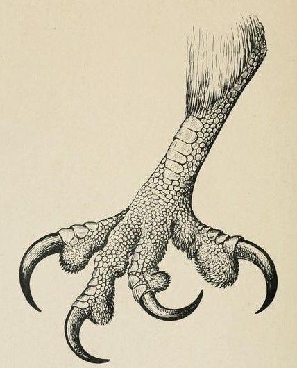 The African Fish Eagle, foot. The birds of South Africa. 1900.