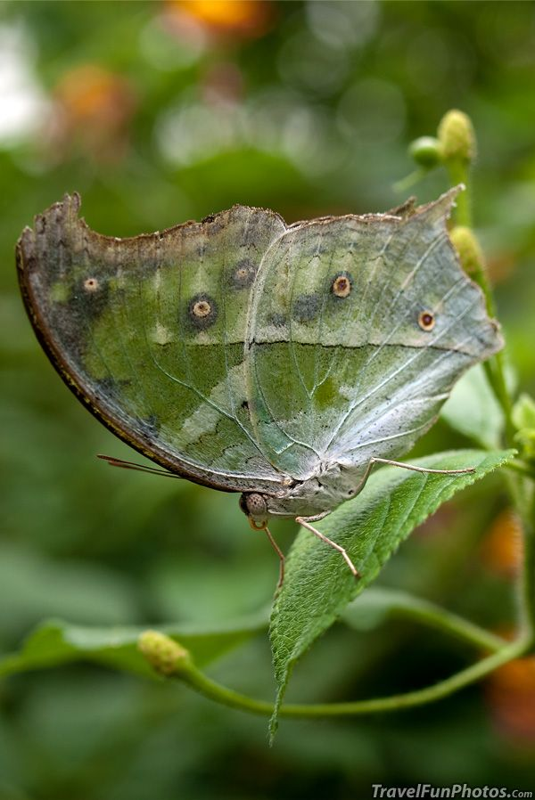 ^Clouded Mother of Pearl Butterfly
