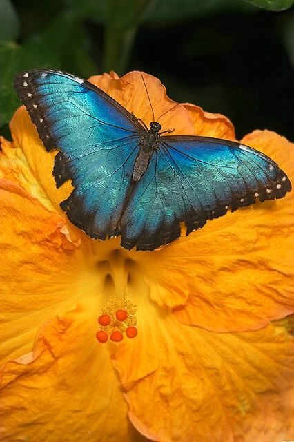 Irridescent Butterfly