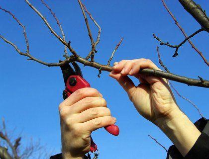 Схема правильной обрезки вишни с фото и видео