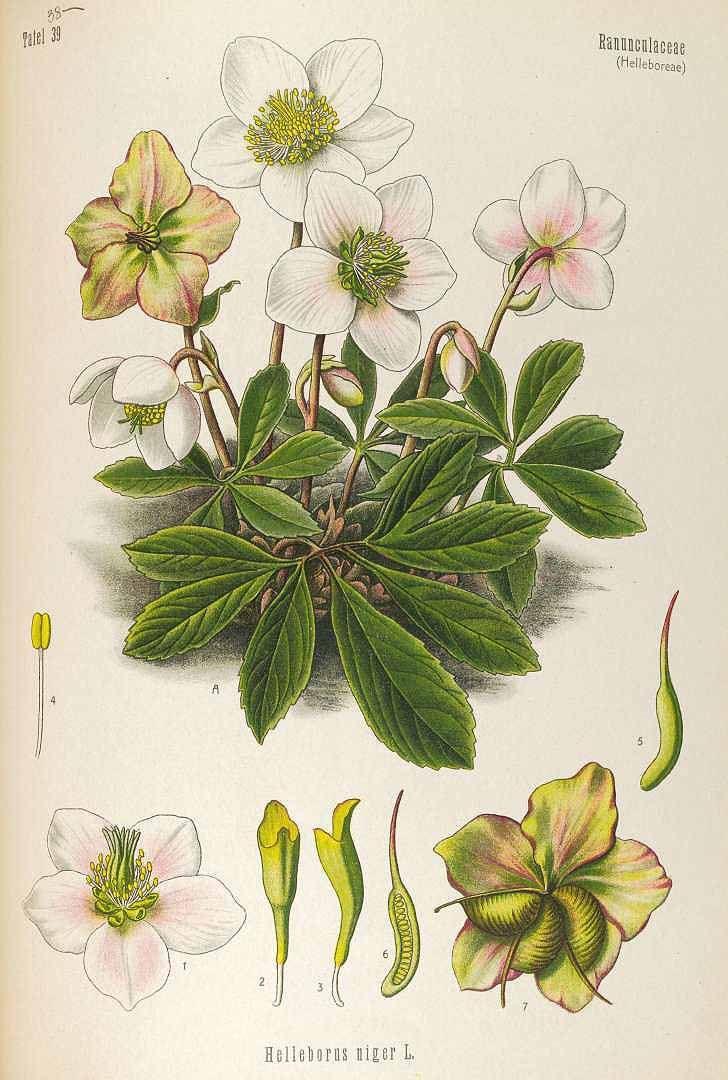 Helleborus niger L. Christmas rose Köhler, F.E., Medizinal Pflanzen, vol. 4: t. 38 (1890) - PRINTABLE