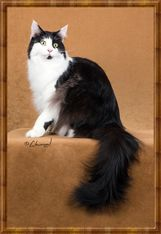 #MaineCoon #Black #Solid #White #Cats  CFA's 18th Best Cat In Premiership GP, NW Syracoons Beatnik, maine-Ard G Krebs