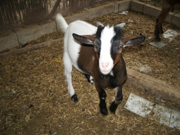 venta de cabras enanas en costa rica