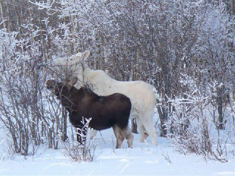 Beautiful Snow Moose - Two Of Them