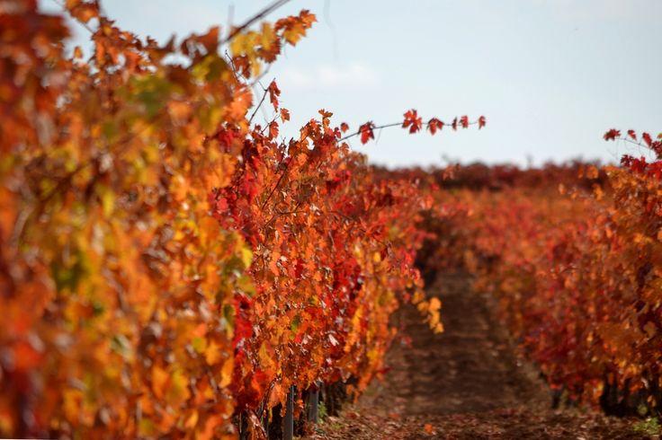 #Autumn #otoño #viña #Rioja #Wine #OrganicWine