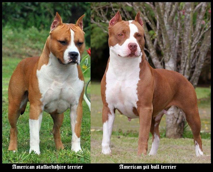 american staffordshire terrier vs - photo #4