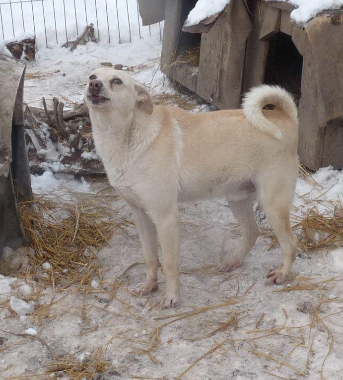 Adoption Chien - Annonce : DIXON, mâle couleur sable né en 2009