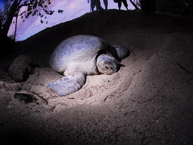Metade das espécies de tartarugas de terra e de água doce estão em perido de extinção, calcula a Sociedade para Conservação da Flora e da Fauna (Foto: AFP / A. G. Sano / Conservation International)