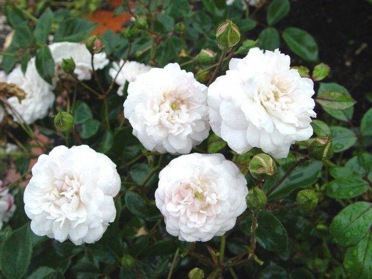 Сорт полиантовых роз Little White Pet (Литл Вайт Пет) очень красивые розы с белыми махровыми цветками. Раскидистый куст достигает высоты 80 см. Диаметр цветов составляет 4-5 см.